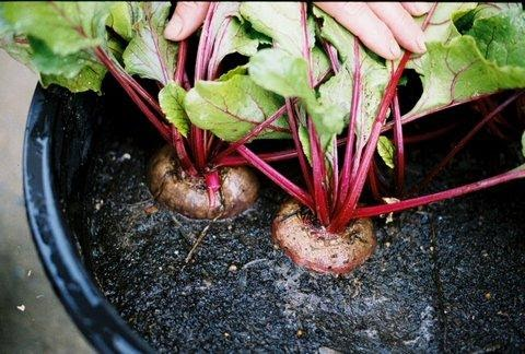 Vegetables to Grow in a Pot